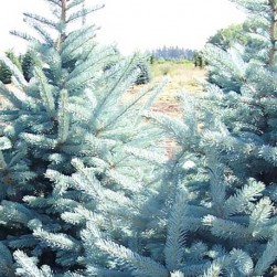 Picea-Pungens-Fat-Albert