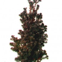Chamaecyparis_Thyoides_Red_Star