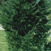 Juniperus_Viriginiana_Canaertii