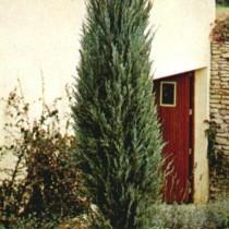 Juniperus_Viriginiana_Skyrocket