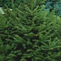 Picea_Abies_Ohlendorfii