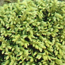 Picea_Abies_Repends