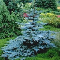 Picea_Pungens_Hoopsii