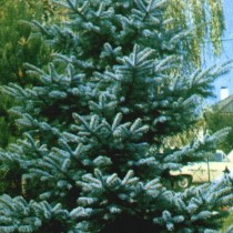 Picea_Pungens_Koster