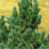 Pinus_Cembra