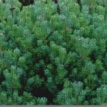 Pinus_Mugo_var_mughus