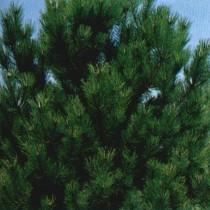 Pinus_Nigra_ssp