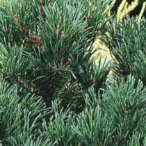 Pinus_Pumila_glauca