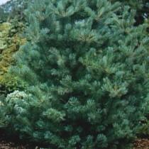 Pinus_Strobus