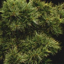 Pinus_Strobus_Radiata