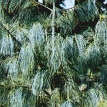 Pinus_Wallichiana_Griffithi