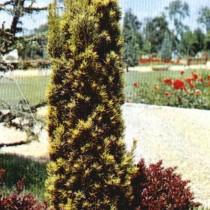 Taxus_Baccata_Fastigiata_Aurea