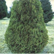 Thuja_Occidentalis_Holmstrup