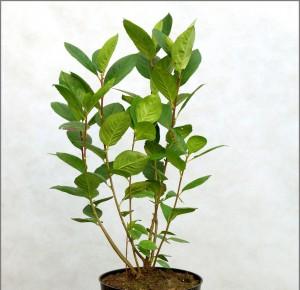 Aronia melanocarpa - Aronia czarnoowocowa, aronia czarna 5